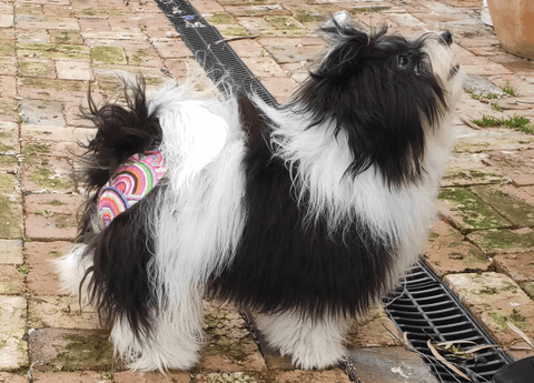 Havanese wearing pupstar pants