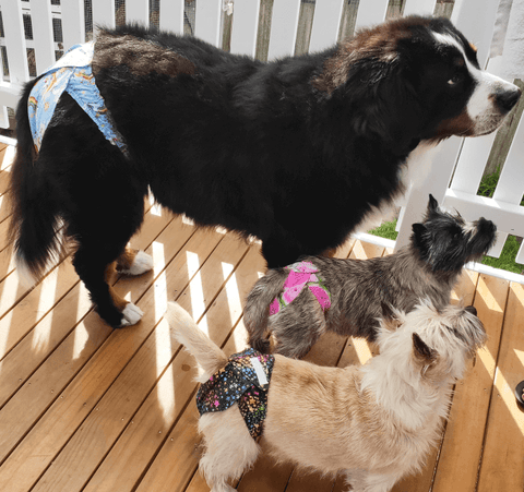 Bernese Moutain Dog and Cairn Terriers wearing Pupstar Pants