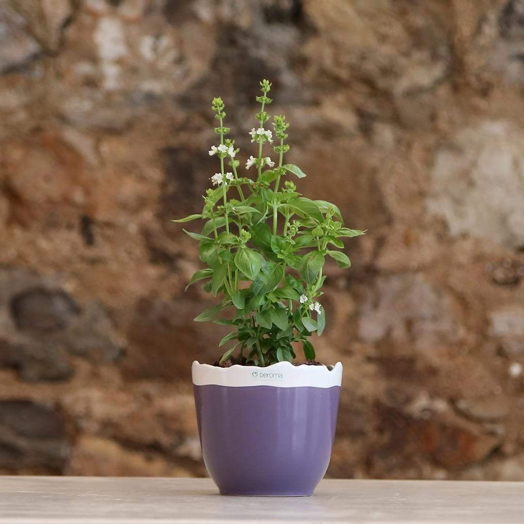 Shams El Balad Plants Local Basil in Deroma Quadro January Pot