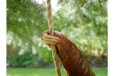 Dangling Tree Sloth 6