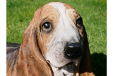 Resin Basset Hound Dog 3