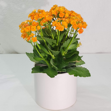 Load image into Gallery viewer, Kalanchoe plant