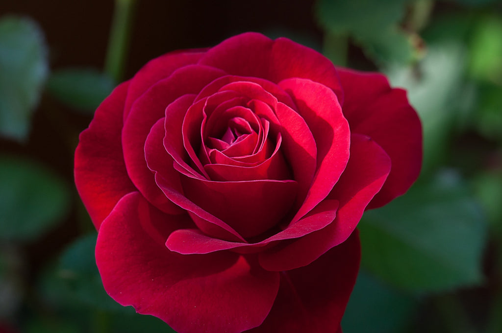 A red rose is a symbol of romantic love.
