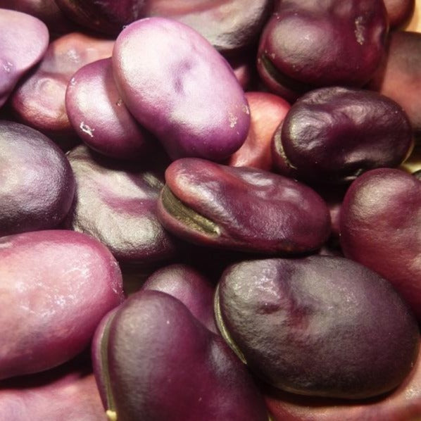 tuinboon-purple-fava