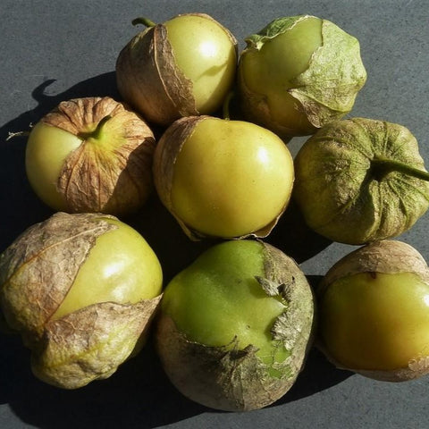 tomatillo-physalis-phyladelphica