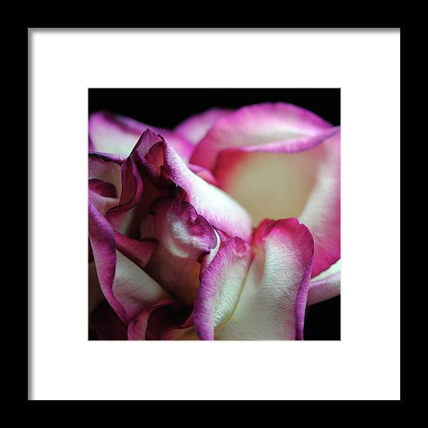 Pink Lined White Rose - Framed Print