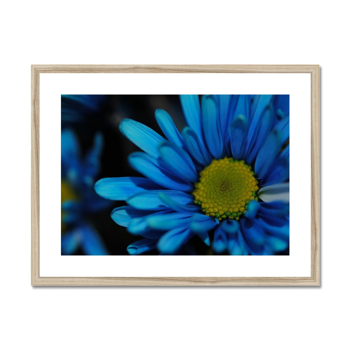 Blue Daisy Framed & Mounted Print