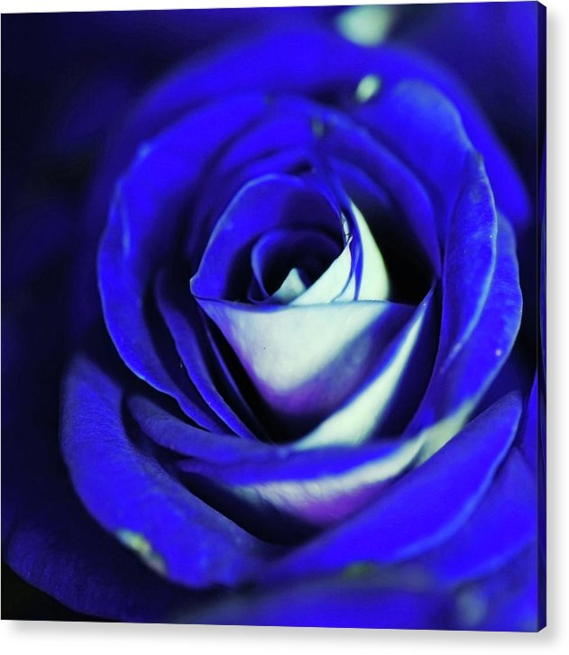 Blue Rose - Acrylic Print