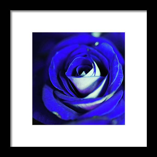 Blue Rose - Framed Print