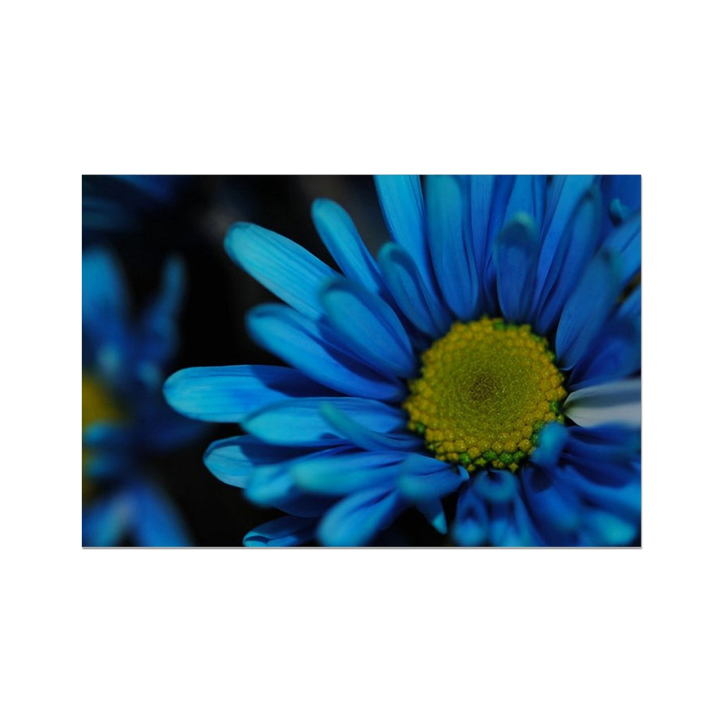 Blue Daisy Hahnemühle Photo Rag Print