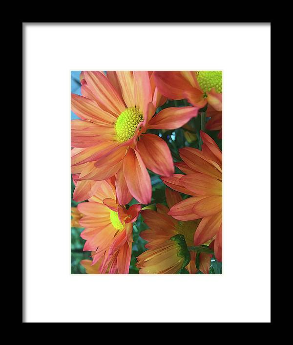 Cream and Pink Daisies Close Up - Framed Print
