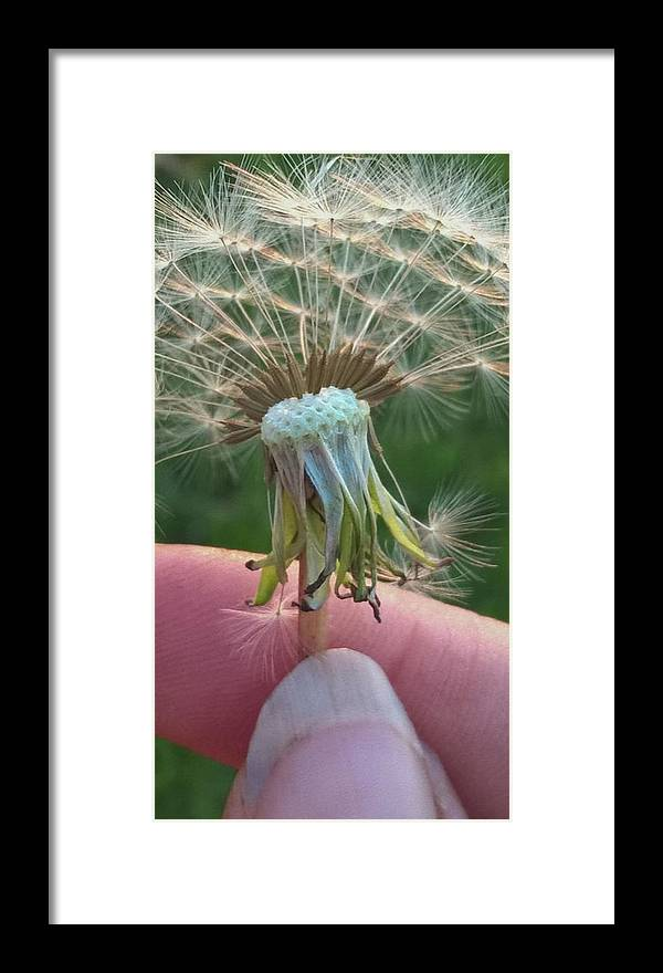 Dandelion Wish - Framed Print