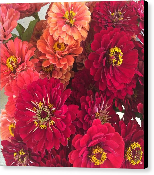 Peach and Pink Zinnias - Canvas Print