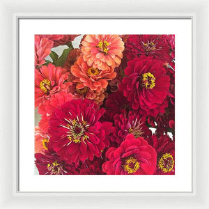 Peach and Pink Zinnias - Framed Print