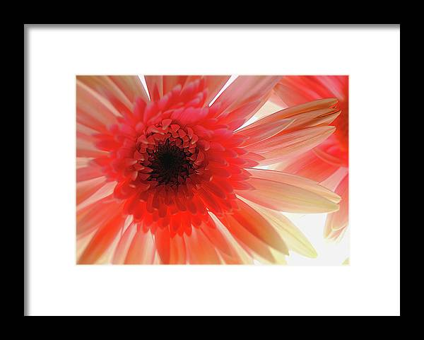 Pink Daisy On Light - Framed Print