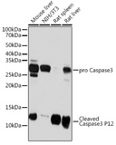 Caspase-3 p12 Rabbit mAb - Neo Science Equipments & Chemicals Trading LLC