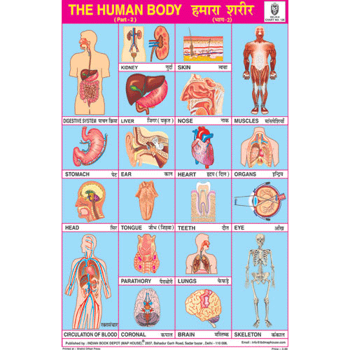 HUMAN BODY PART II CHART SIZE 12X18 (INCHS) 300GSM ARTCARD - Indian Book Depot (Map House)