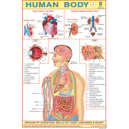 HUMAN BODY (PART I) CHART SIZE 12X18 (INCHS) 300GSM ARTCARD - Indian Book Depot (Map House)