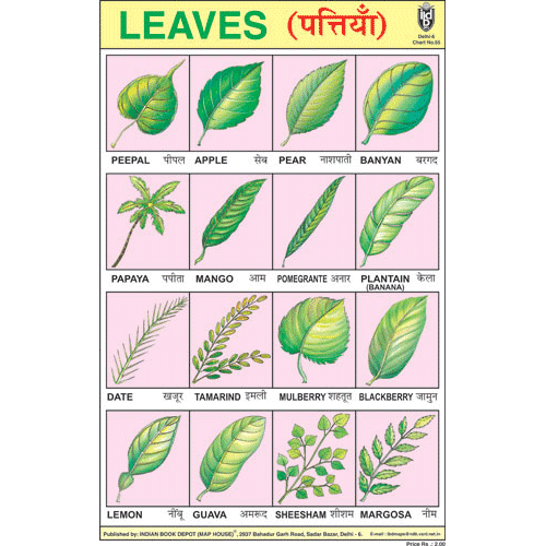 LEAVES CHART SIZE 24 X 36 CMS CHART NO. 55 - Indian Book Depot (Map House)