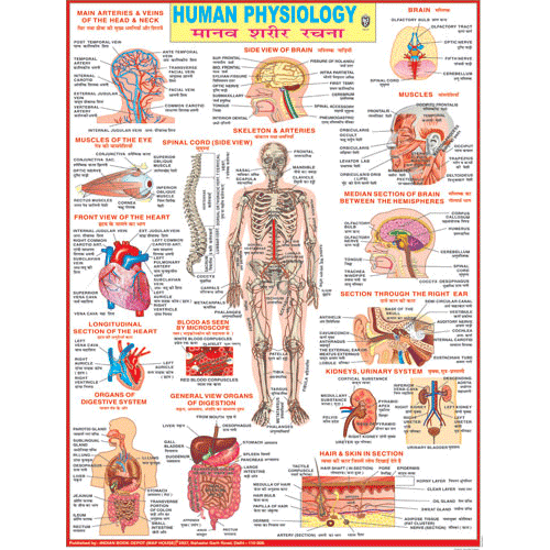 HUMAN PHYSIOLOGY CHART SIZE 45 X 57 CMS - Indian Book Depot (Map House)