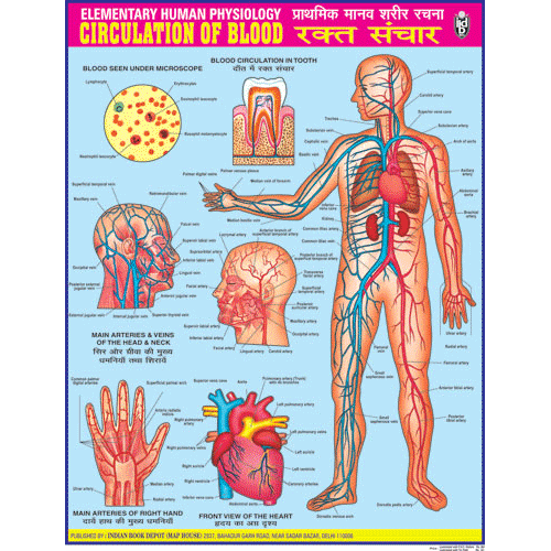 CIRCULATION OF BLOOD CHART SIZE 45 X 57 CMS - Indian Book Depot (Map House)