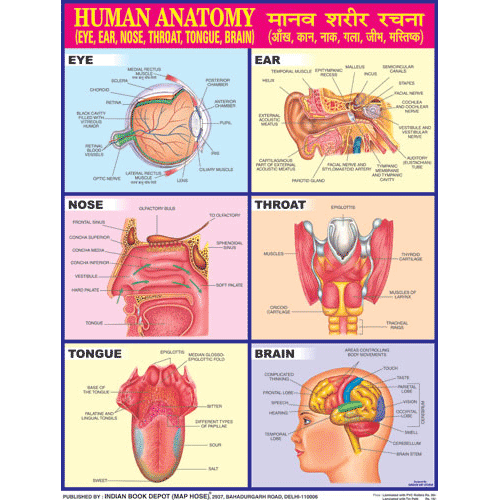 HUMAN ANATOMY (EYES, NOSE) CHART SIZE 45 X 57 CMS - Indian Book Depot (Map House)