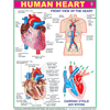 HUMAN HEART CHART SIZE 45 X 57 CMS - Indian Book Depot (Map House)