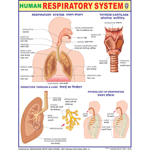 HUMAN RESIRATORY SYSTEM CHART SIZE 45 X 57 CMS - Indian Book Depot (Map House)