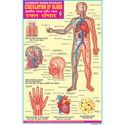 CIRCULATION OF BLOOD CHART SIZE 50 X 75 CMS - Indian Book Depot (Map House)