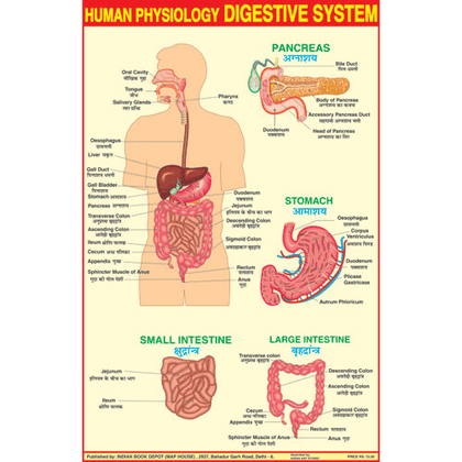 HUMAN DIGESTIVE SYSTEM CHART SIZE 50 X 75 CMS - Indian Book Depot (Map House)