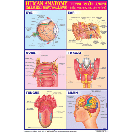 HUMAN ANATOMY (ENT) CHART SIZE 50 X 75 CMS - Indian Book Depot (Map House)