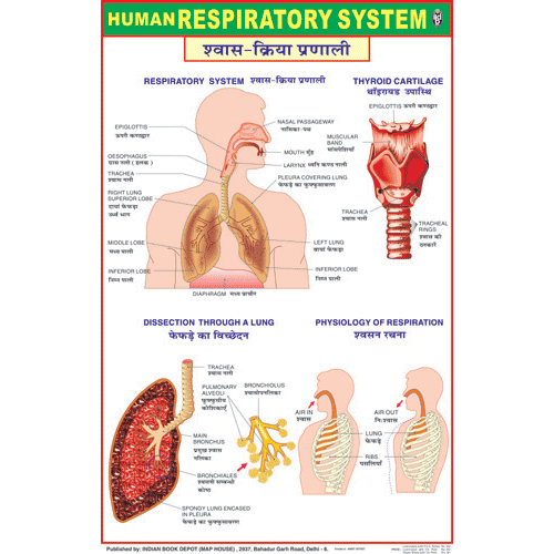 RESPIRATORY SYSTEM CHART SIZE 50 X 75 CMS - Indian Book Depot (Map House)