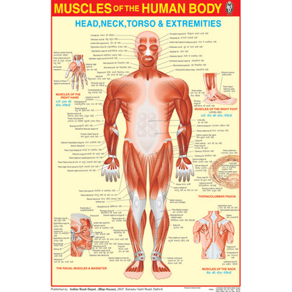 MUSCULAR SYSTEM CHART SIZE 50 X 75 CMS - Indian Book Depot (Map House)
