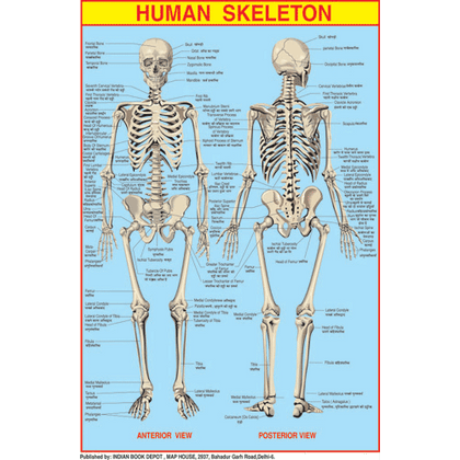 HUAMN SKELETON CHART SIZE 50 X 75 CMS - Indian Book Depot (Map House)