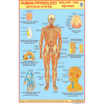 NERVOUS SYSTEM CHART SIZE 50 X 75 CMS - Indian Book Depot (Map House)