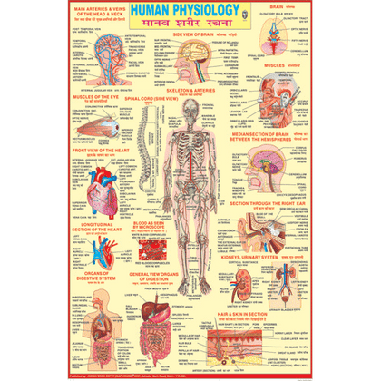 HUMAN PHYSIOLOGY (ENGLISH) CHART SIZE 50 X 75 CMS - Indian Book Depot (Map House)