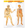 HUMAN ANATOMY (1) CHART SIZE 55 X 70 CMS - Indian Book Depot (Map House)