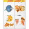 HUMAN ANATOMY (2) CHART SIZE 55 X 70 CMS - Indian Book Depot (Map House)
