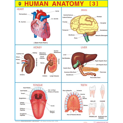 HUMAN ANATOMY (3) CHART SIZE 55 X 70 CMS - Indian Book Depot (Map House)