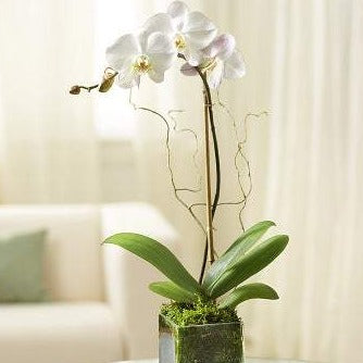 Elegant Orchid - White - fashionbests