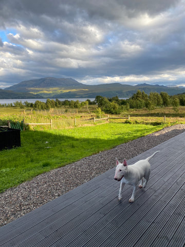 White bull terrier walking on decking in the Isle of Skye with a cloudy sky.