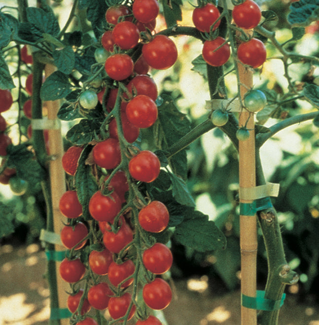 Tomato-Sweet Million Cherry-4.5 in
