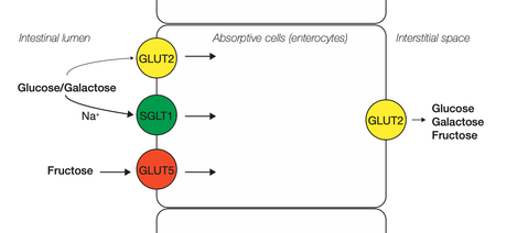 Glucose and fructose transporters