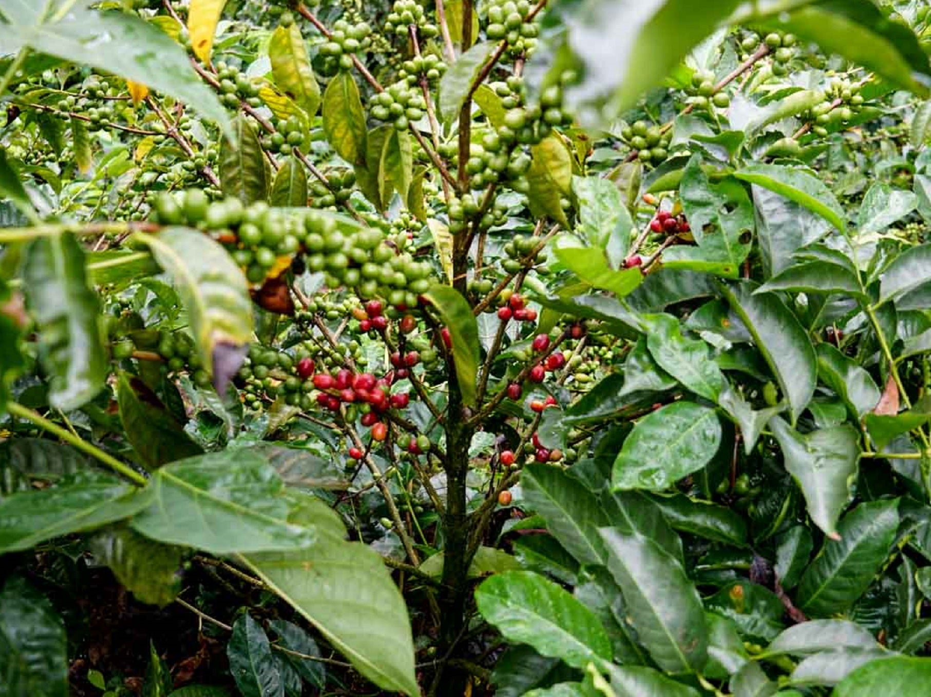 Finca Tono Costa Rica - Green Coffee Beans