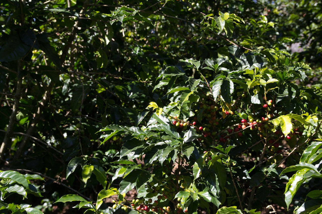 Vista Al Bosque Guatemala - Green Coffee Beans
