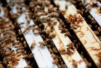 Bees in Nuc - Pickup Only @ Riverside, CA