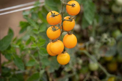 Gold Nugget Organic Tomato Seed - 20 seeds