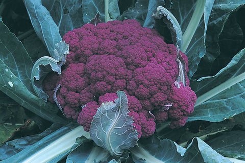 Graffiti  (F1) Cauliflower Seed - 20 seeds