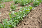 Leisure Organic Cilantro Seed - 20 seeds