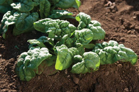 Bloomsdale Spinach Seed - 20 seeds